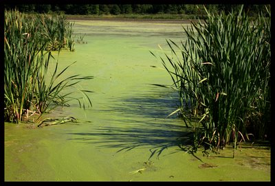 The rich pea-soup of Brome Lake is actually worth more than Crude Oil say experts at BioGreenz!