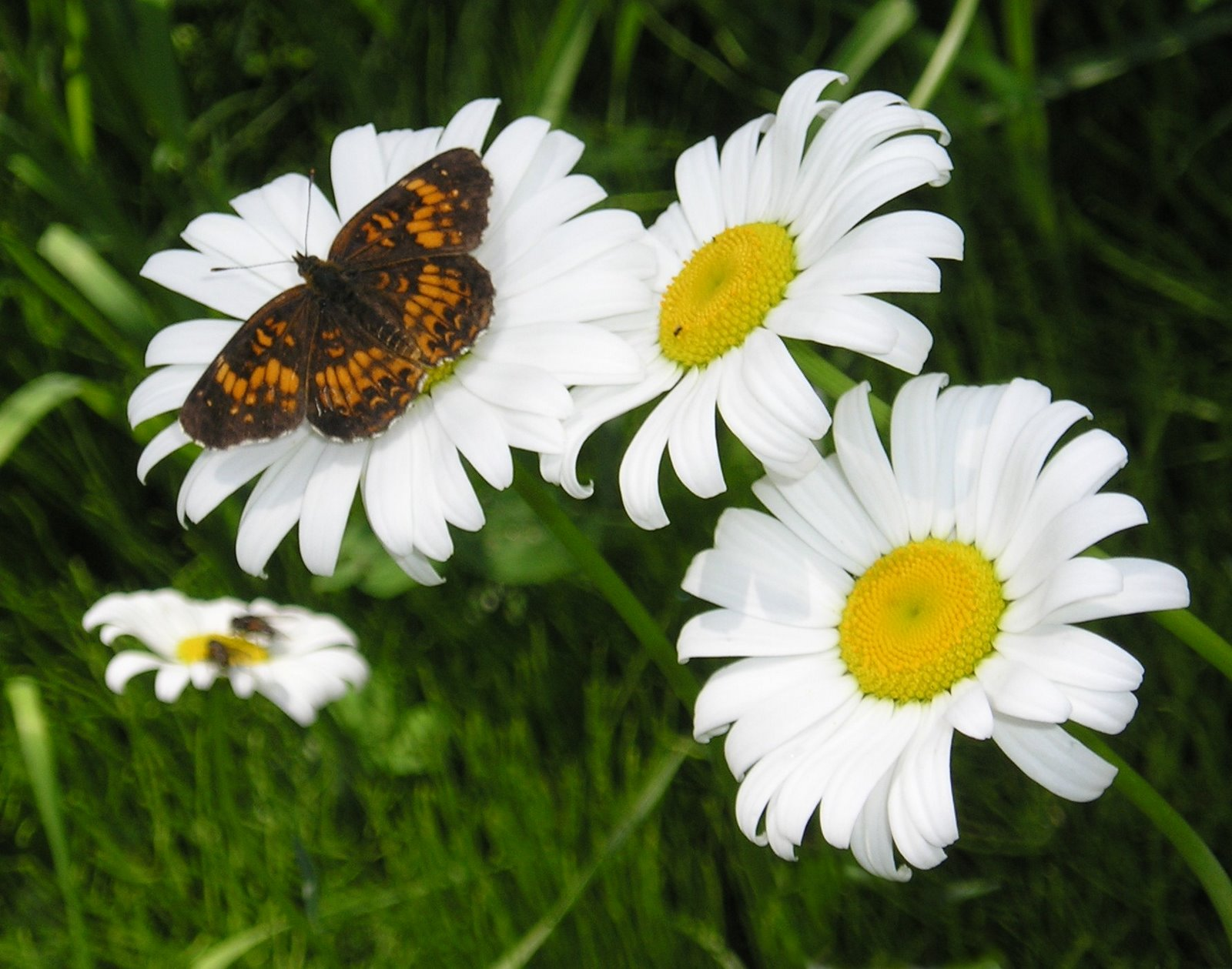 Shasta daisy and flutterby nature pinterest for Butterfly in a flower