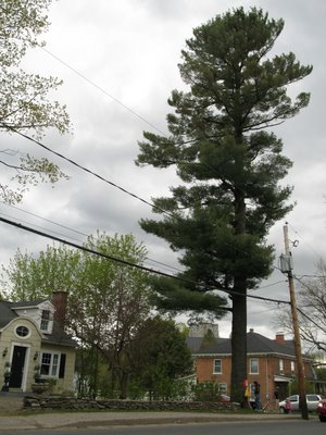 A beautiful White Pine Tree is being threatened with death because someone feels its in the way!
