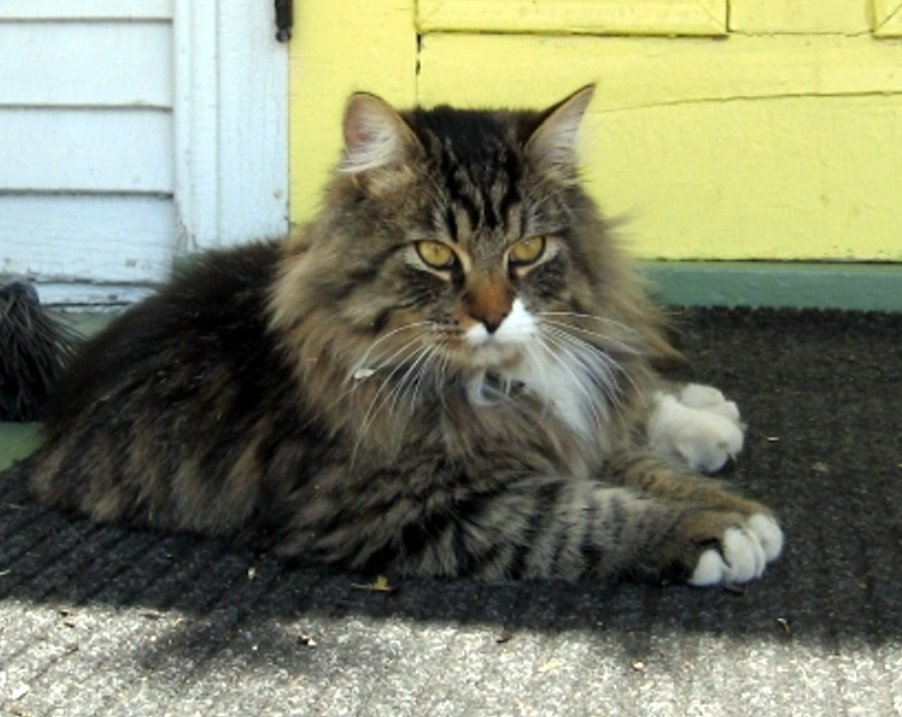 for the owners of a young healthy long hair female or male tabby cat.