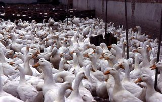 The crowded conditions of North American factory farms is nothing new...blaming duck farmers is unfair!